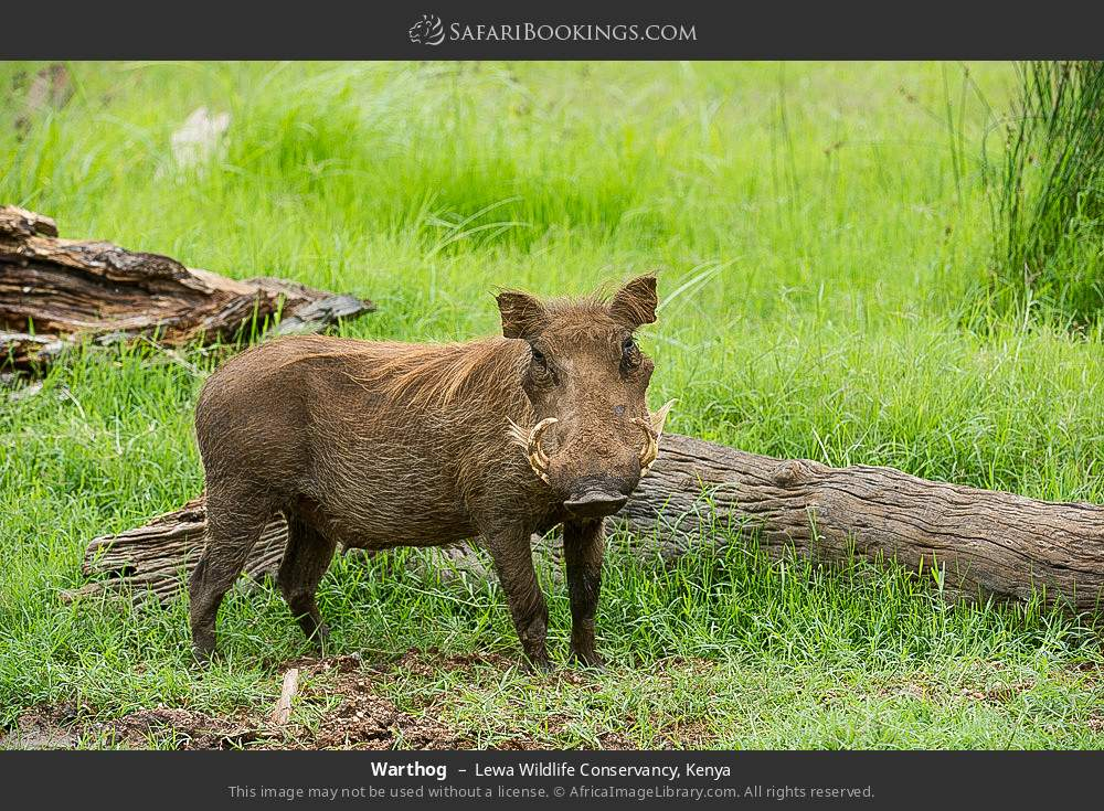 Warthog in Lewa Wildlife Conservancy, Kenya