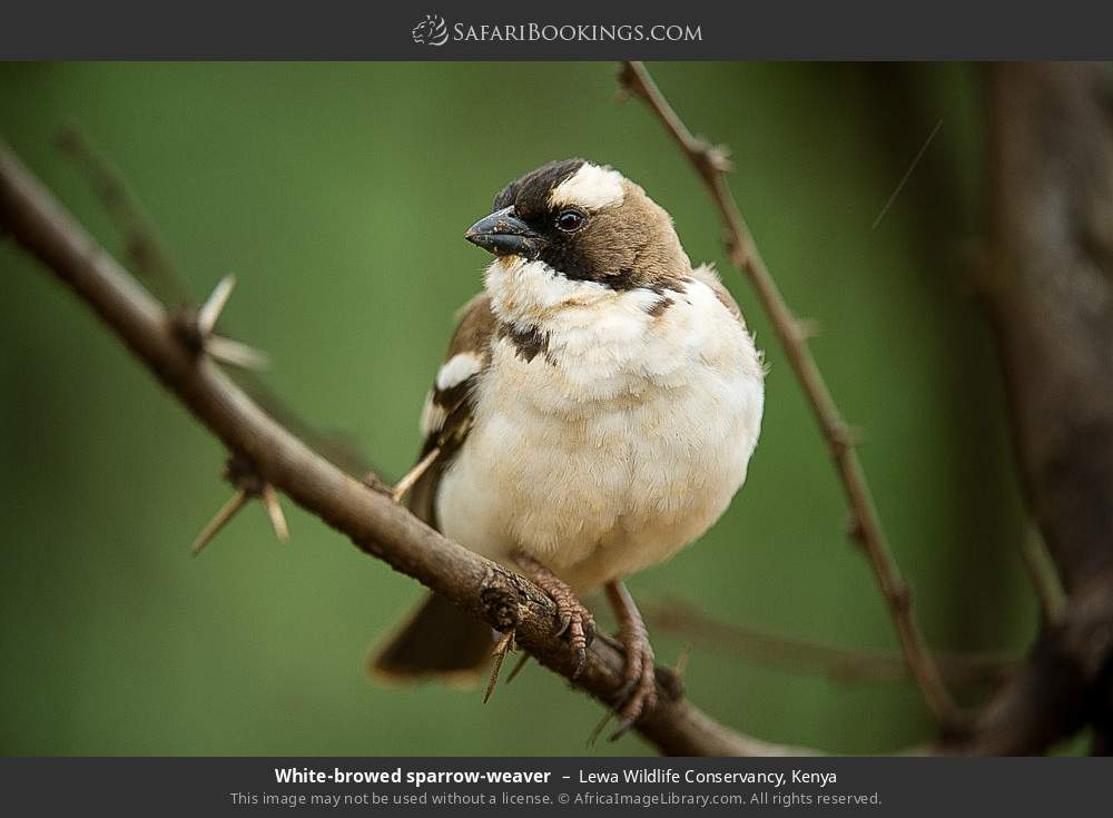 White-browed sparrow-weaver in Lewa Wildlife Conservancy, Kenya