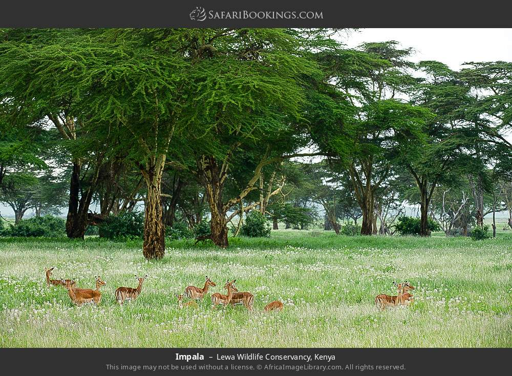 Impala in Lewa Wildlife Conservancy, Kenya