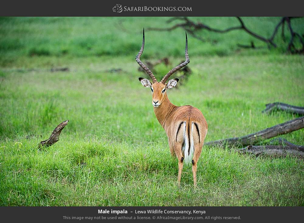 Male Impala in Lewa Wildlife Conservancy, Kenya