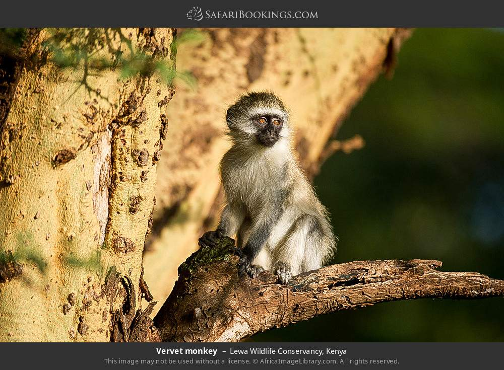 Vervet monkey in Lewa Wildlife Conservancy, Kenya