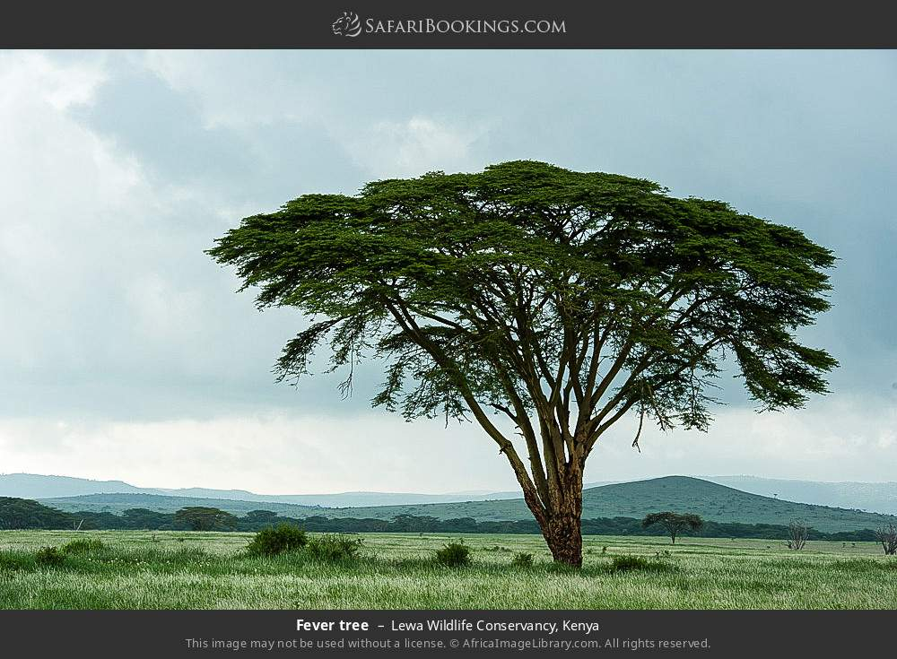 Fever tree in Lewa Wildlife Conservancy, Kenya