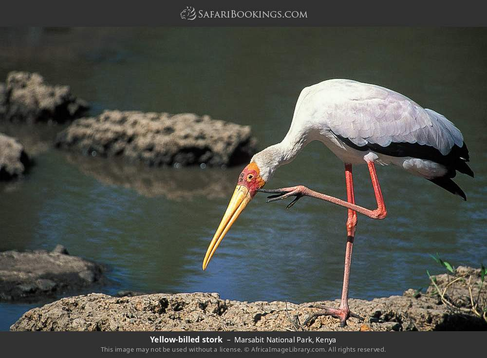 Yellow-billed stork in Marsabit National Park, Kenya