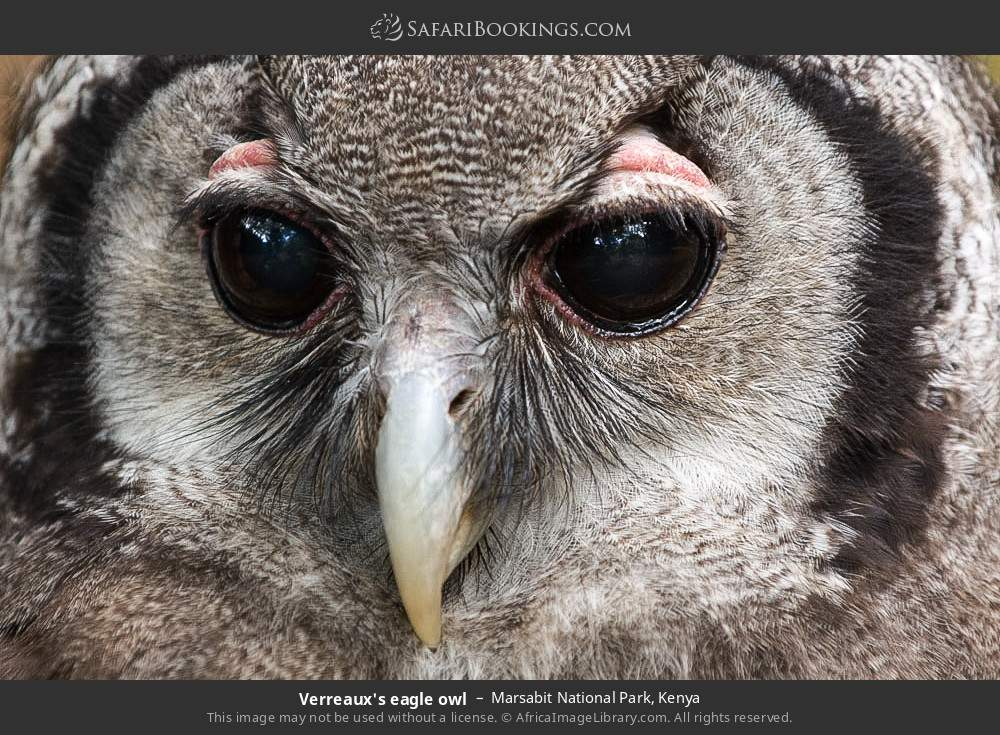 Verreaux's eagle owl in Marsabit National Park, Kenya