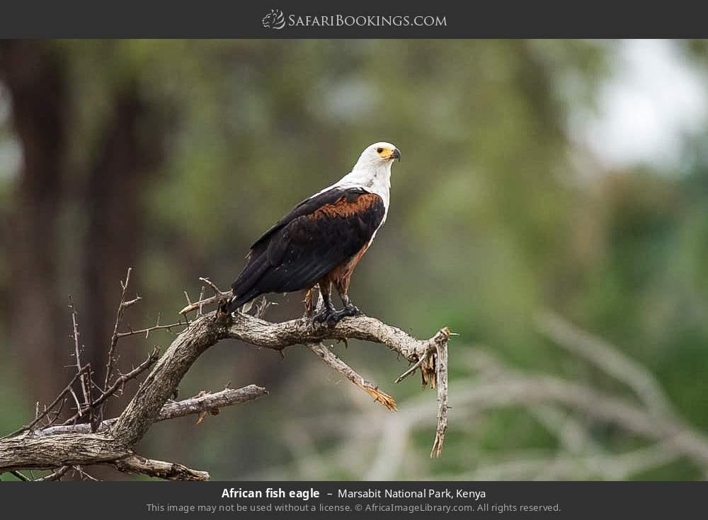 African fish-eagle in Marsabit National Park, Kenya