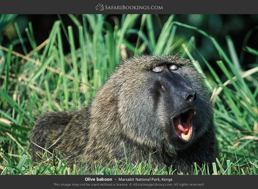 Olive baboon in Marsabit National Park, Kenya