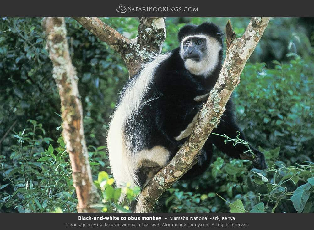 Guereza Black and White Colobus monkey in Marsabit National Park, Kenya