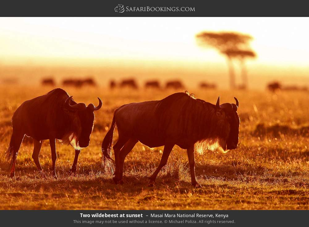 Two wildebeest at sunset in Masai Mara National Reserve, Kenya