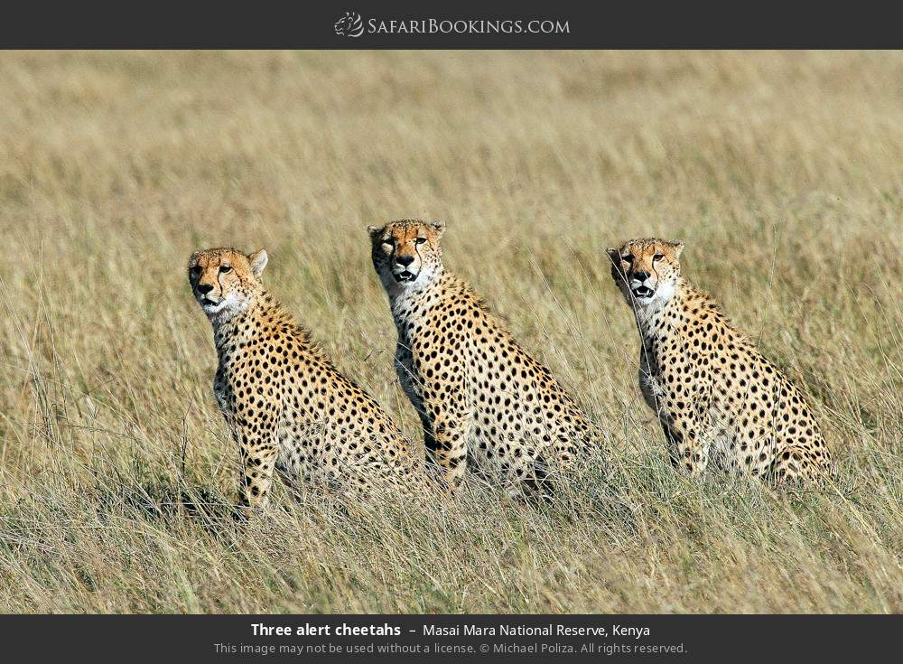 Three alert cheetahs in Masai Mara National Reserve, Kenya