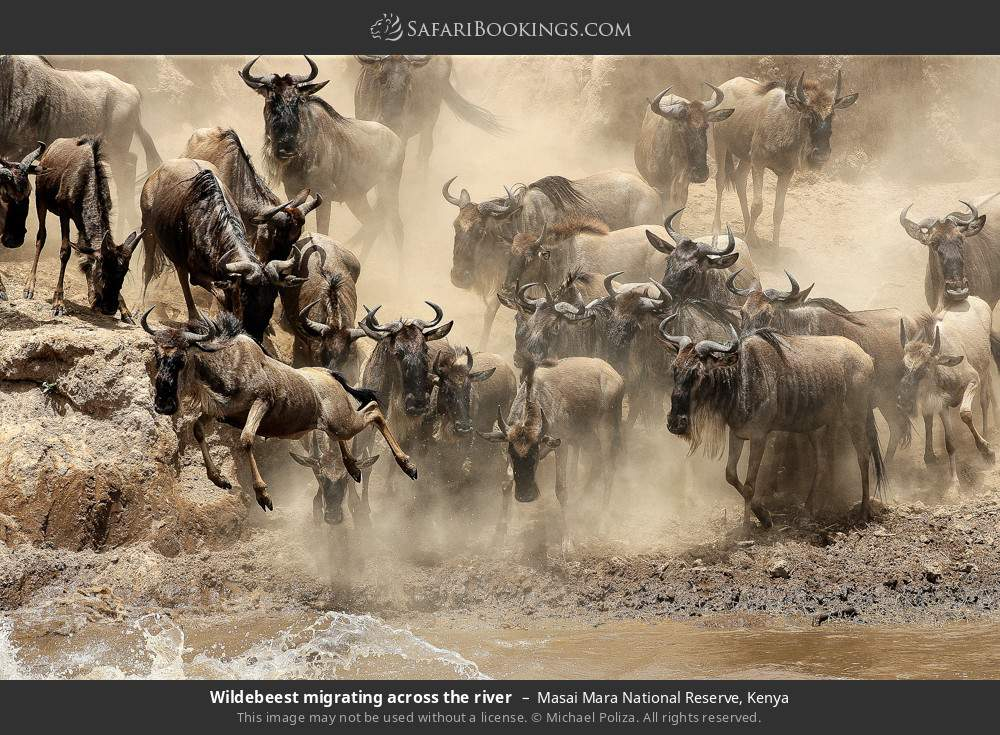 Wildebeest migrating across the river in Masai Mara National Reserve, Kenya