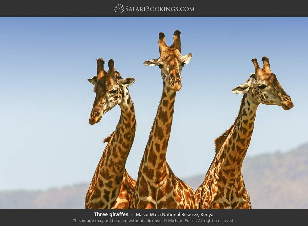 Three giraffes in Masai Mara National Reserve, Kenya