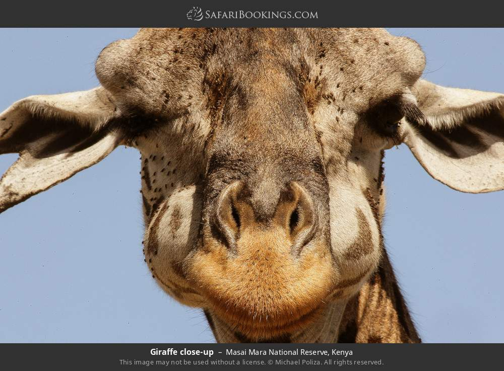Giraffe close-up in Masai Mara National Reserve, Kenya