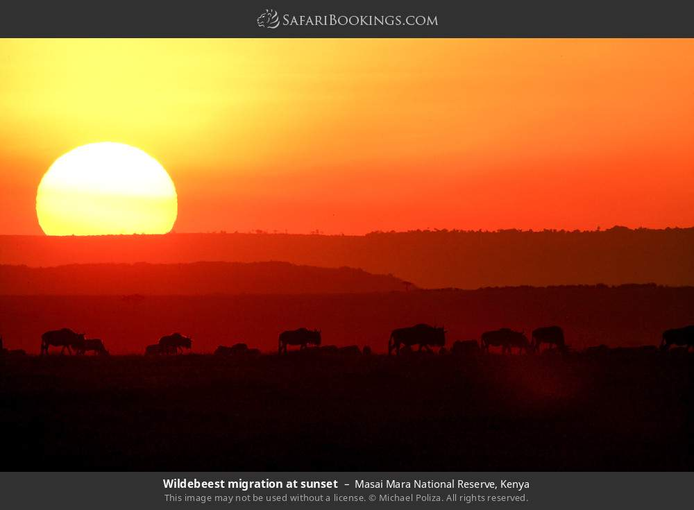 Wildebeest migration at sunset in Masai Mara National Reserve, Kenya