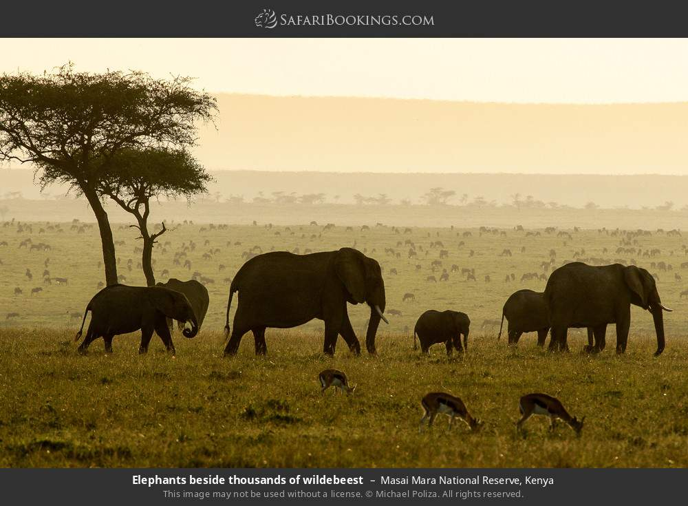 Elephants beside thousands of wildebeest in Masai Mara National Reserve, Kenya