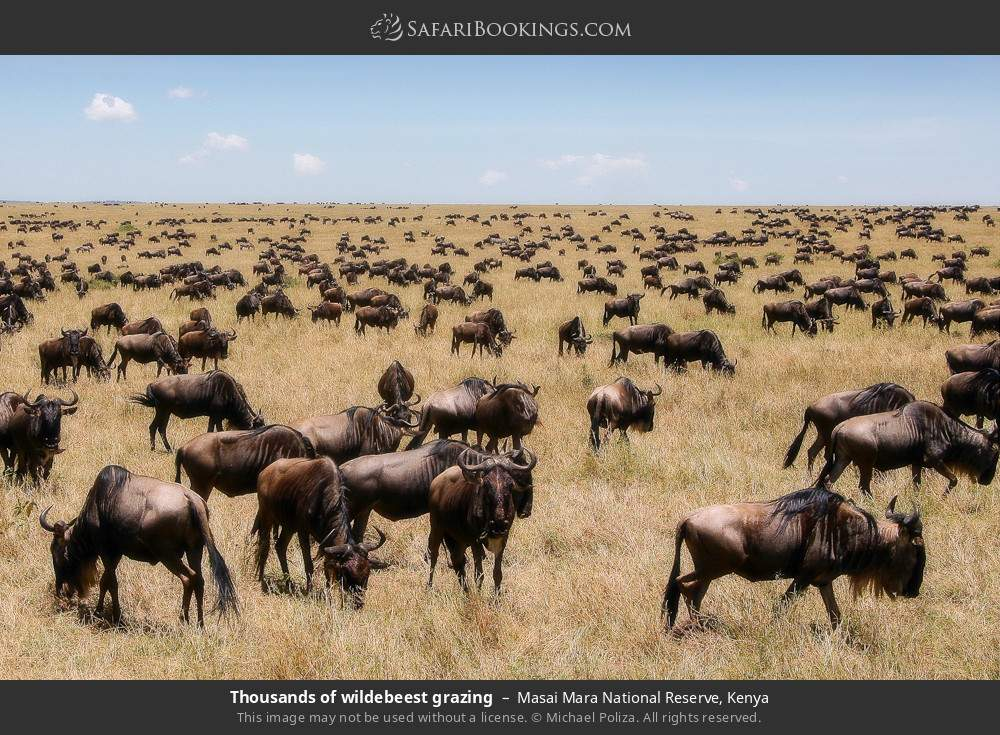 Thousands of wildebeest grazing in Masai Mara National Reserve, Kenya