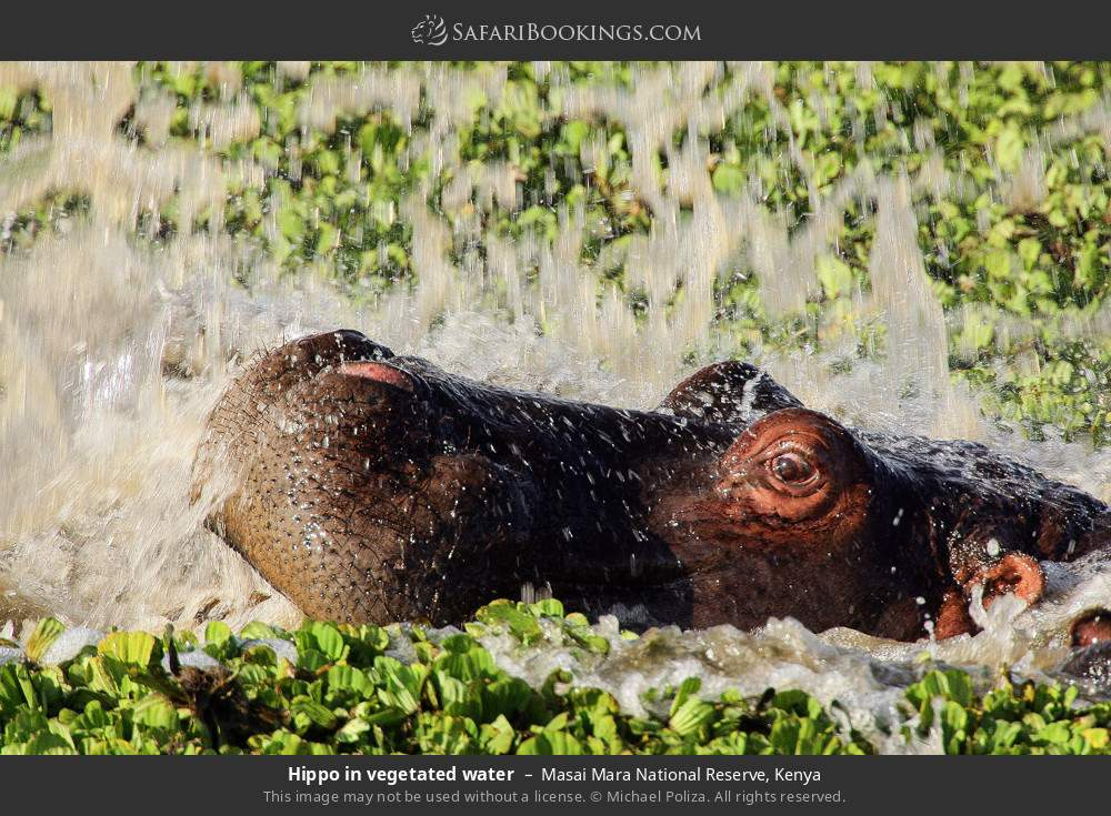 Hippo in vegetated water in Masai Mara National Reserve, Kenya