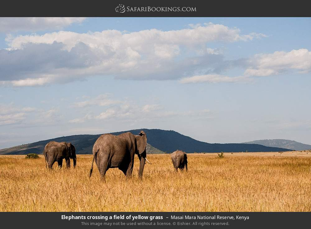 Elephants crossing a field of yellow grass in Masai Mara National Reserve, Kenya