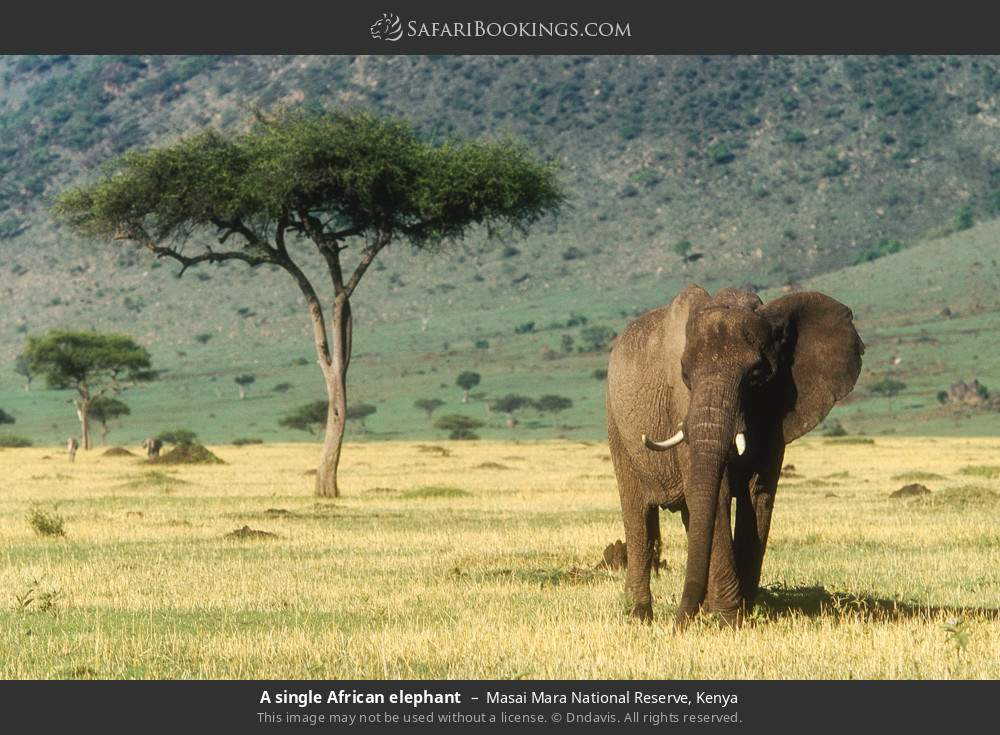 A single African elephant in Masai Mara National Reserve, Kenya