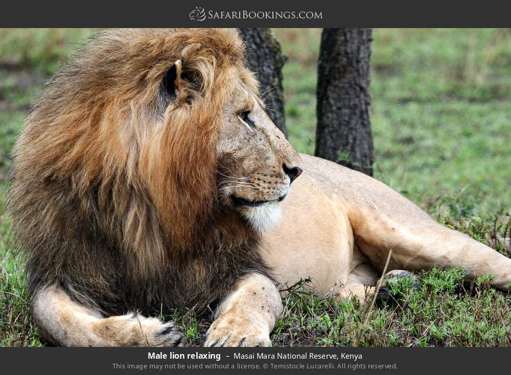 Male lion relaxing in Masai Mara National Reserve, Kenya