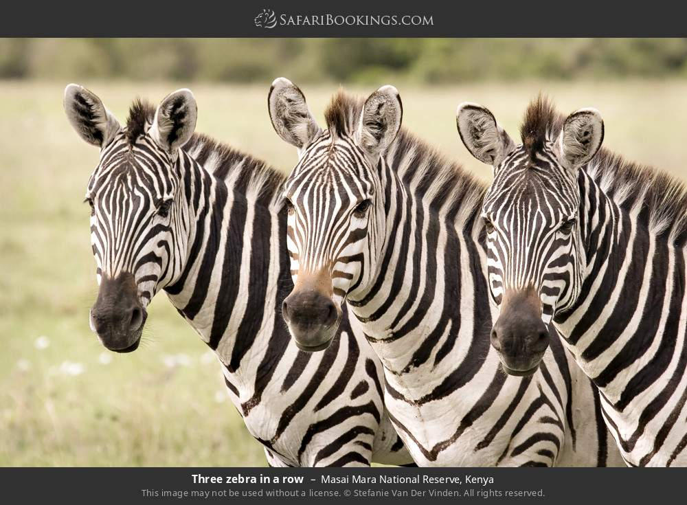 Three zebra in a row in Masai Mara National Reserve, Kenya
