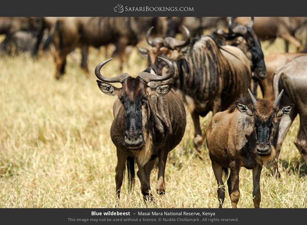 Blue wildebeest in Masai Mara National Reserve, Kenya