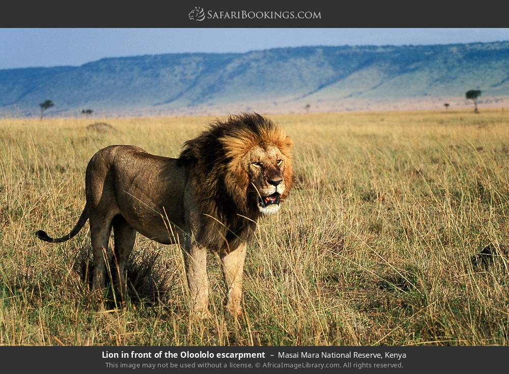 Lion in front of Oloololo escarpment in Masai Mara National Reserve, Kenya