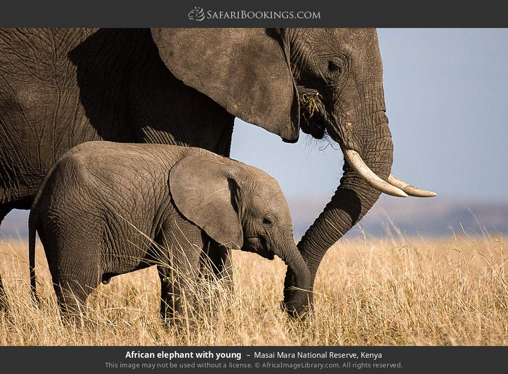 African elephant with young in Masai Mara National Reserve, Kenya