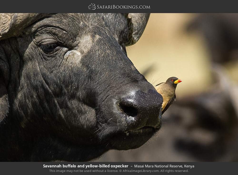 Savanna buffalo and yellow-billed oxpecker in Masai Mara National Reserve, Kenya