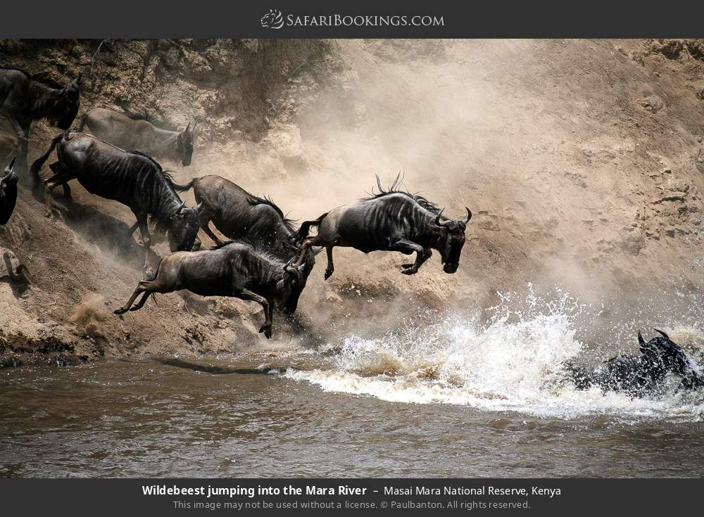 Wildebeest jumping into the Mara River in Masai Mara National Reserve, Kenya