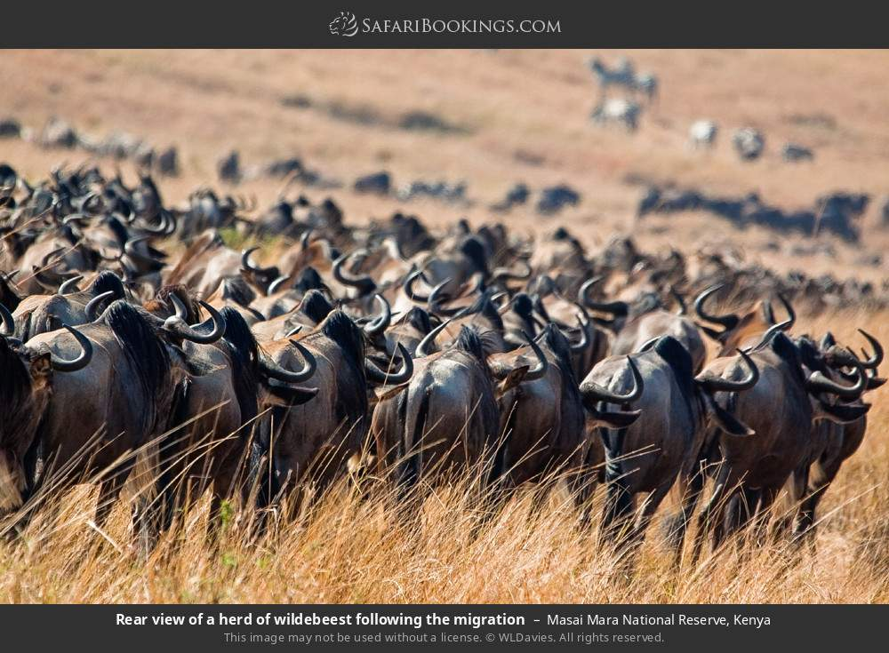 Rear view of a herd of wildebeest following the migration in Masai Mara National Reserve, Kenya