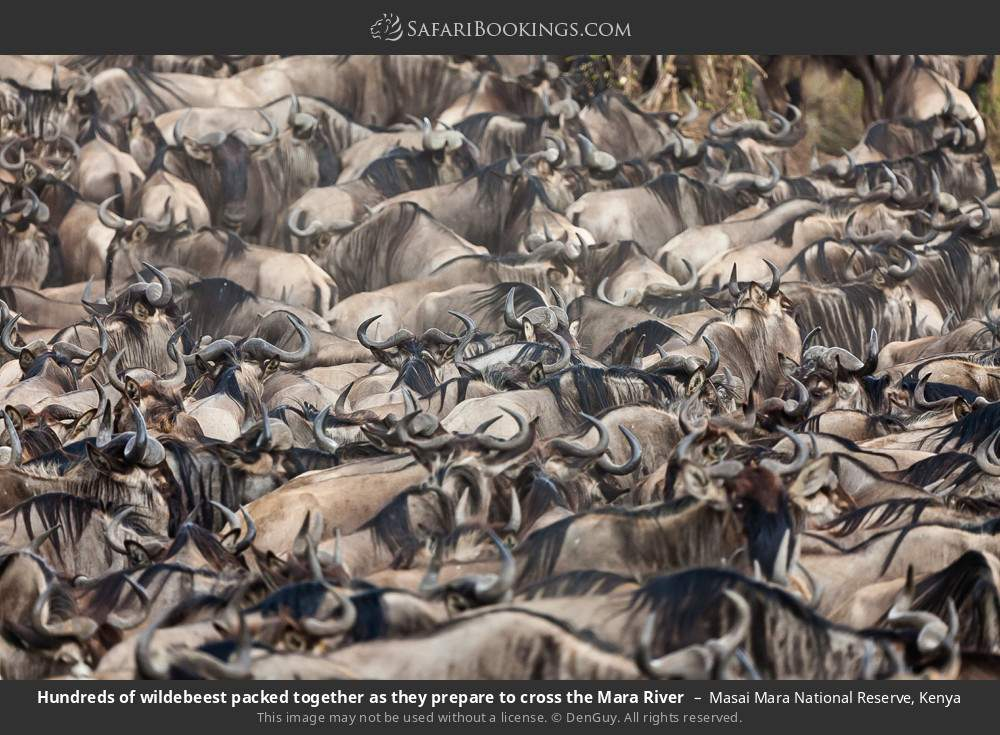 Hundreds of wildebeest packed together as they prepare to cross the Mara River in Masai Mara National Reserve, Kenya