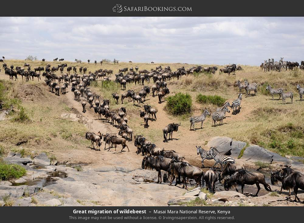 Great Migration of the wildebeest in Masai Mara National Reserve, Kenya