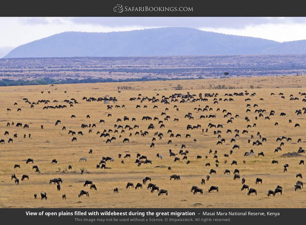 View of open plains filled with wildebeest during the great migration in Masai Mara National Reserve, Kenya