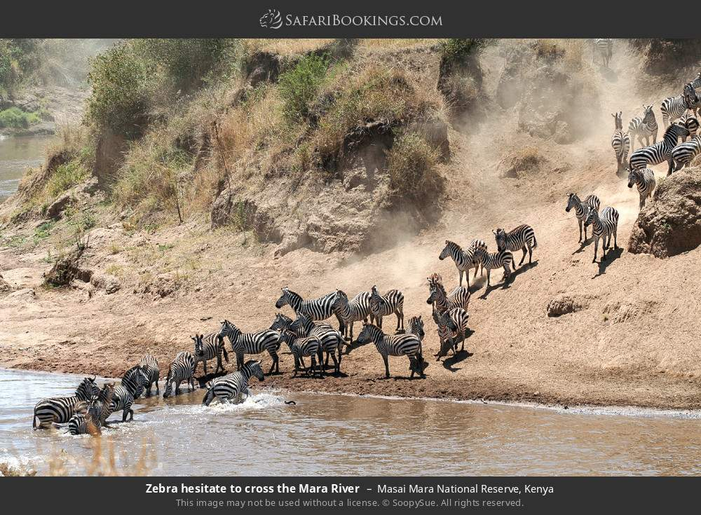 Zebra hesitate to cross the Mara River in Masai Mara National Reserve, Kenya