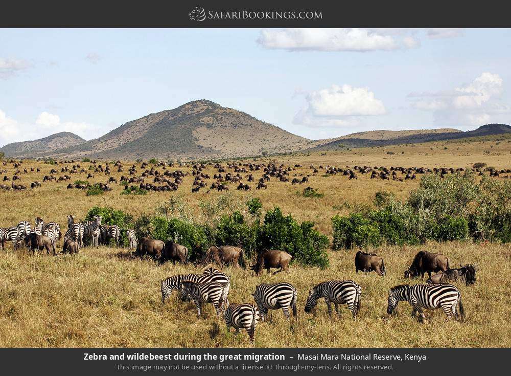 Zebra and wildebeest during the great migration in Masai Mara National Reserve, Kenya