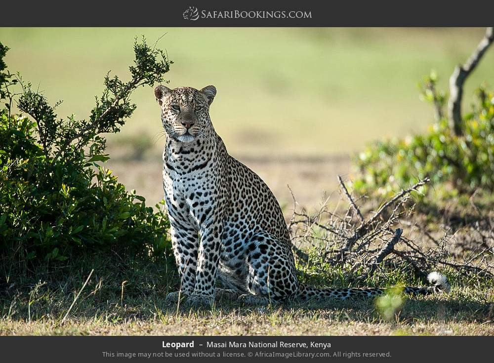 Leopard in Masai Mara National Reserve, Kenya