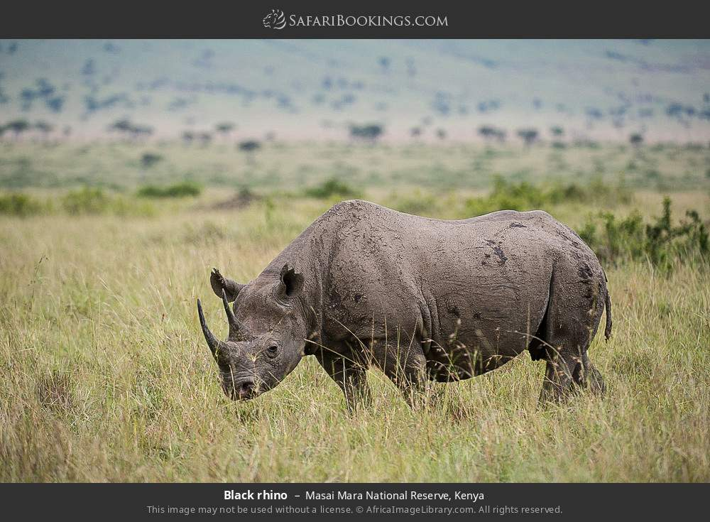 Black rhino in Masai Mara National Reserve, Kenya