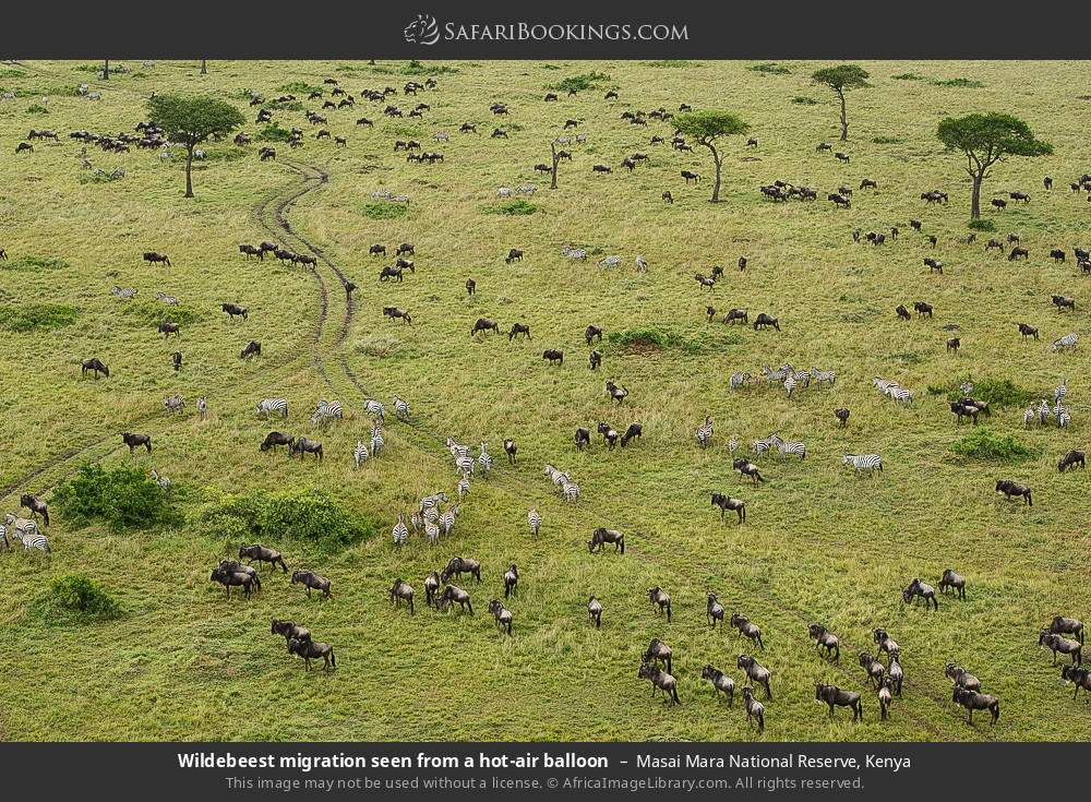 Wildebeest migration seen from a hot-air balloon in Masai Mara National Reserve, Kenya