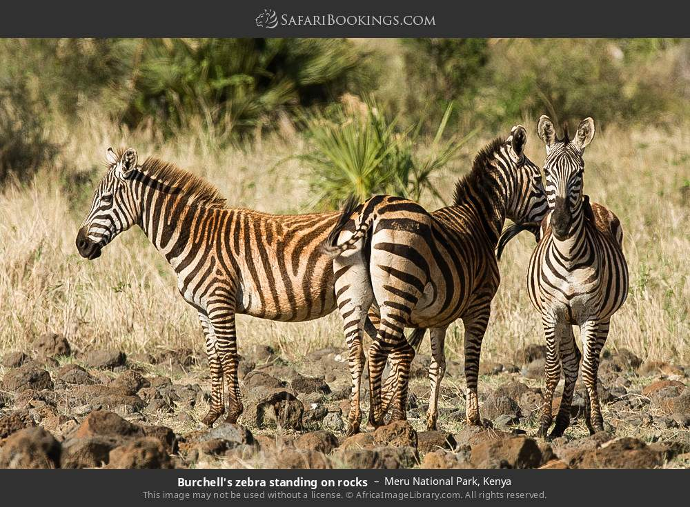 Burchell's zebra standing on rocks in Meru National Park, Kenya