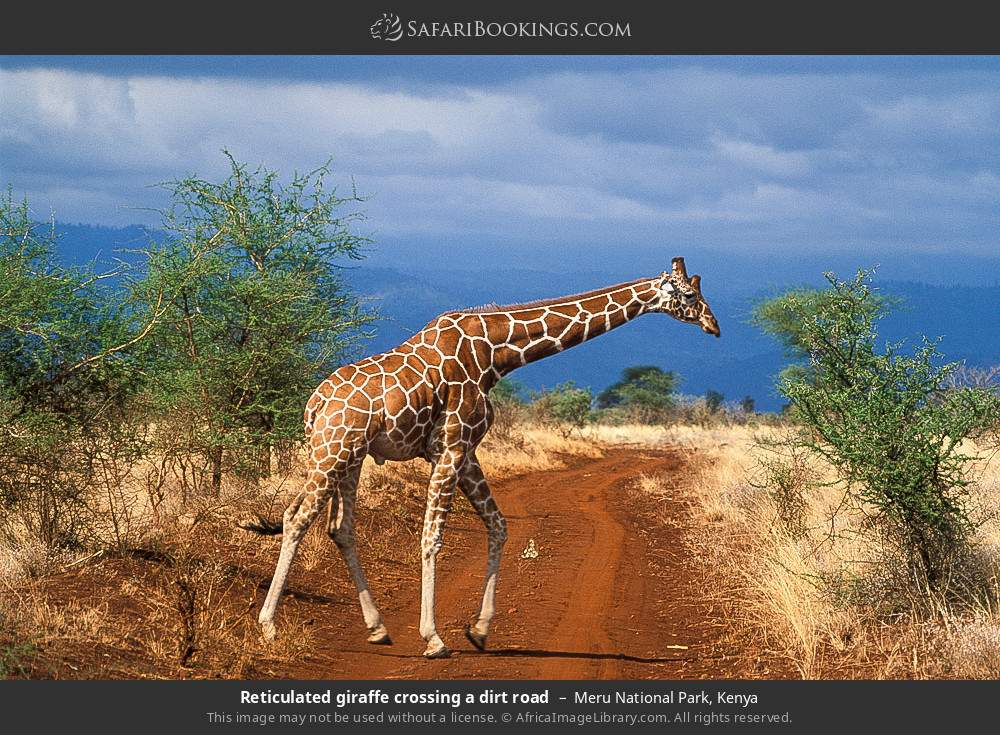 Reticulated giraffe crossing a dirt road in Meru National Park, Kenya