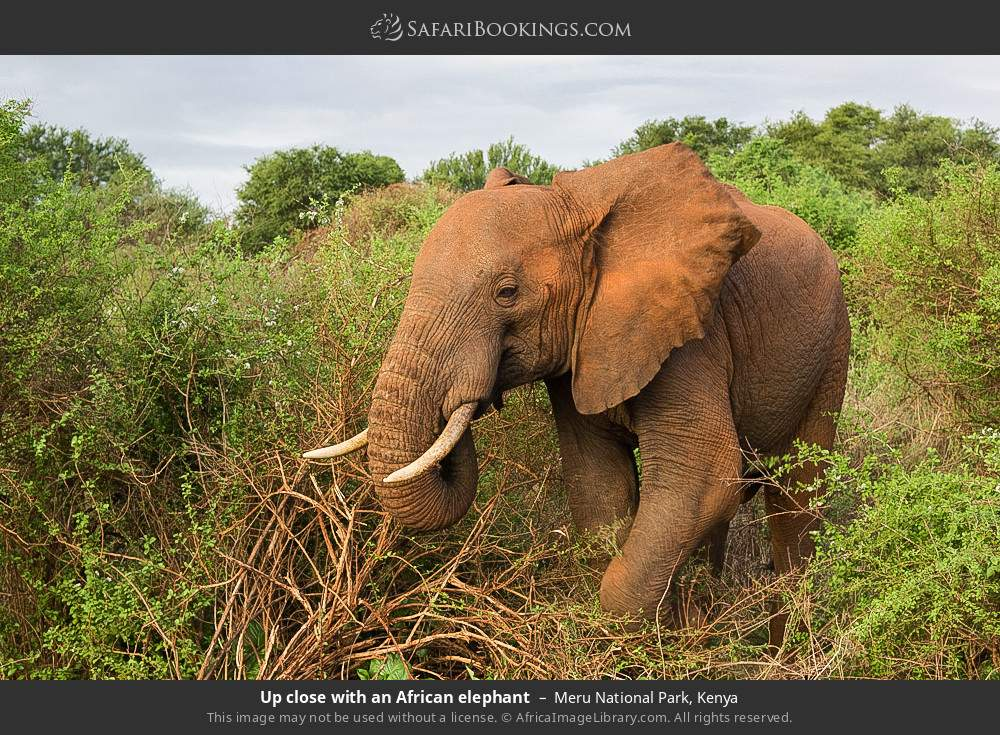 Up close with an African elephant in Meru National Park, Kenya