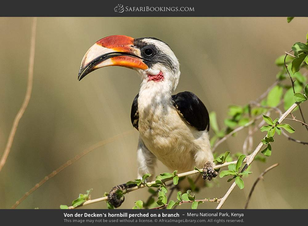 Von der Decken's Hornbill perched on a branch in Meru National Park, Kenya