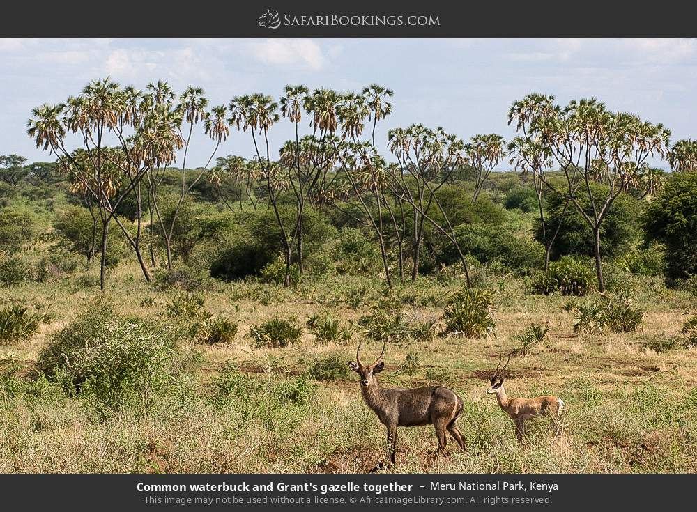 Common waterbuck and Grant's gazelle together in Meru National Park, Kenya