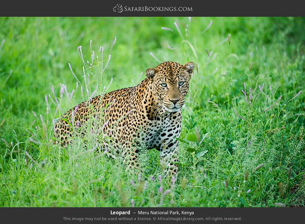 Leopard in Meru National Park, Kenya
