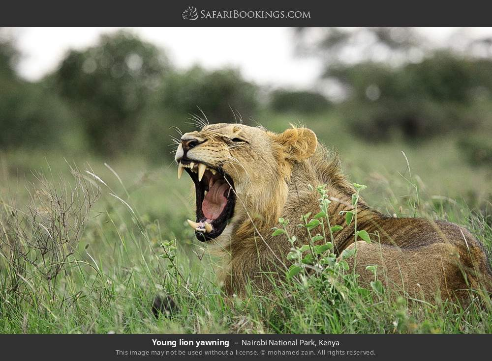 Young lion yawning in Nairobi National Park, Kenya