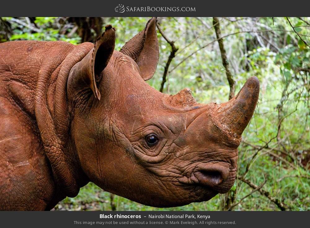 Black rhinoceros in Nairobi National Park, Kenya