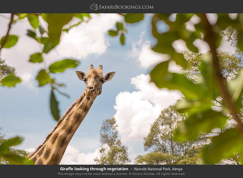 Giraffe looking through vegetation in Nairobi National Park, Kenya