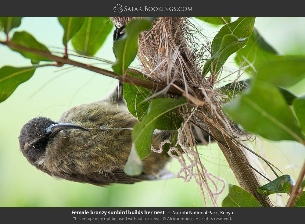 Female bronze sunbird builds her nest in Nairobi National Park, Kenya