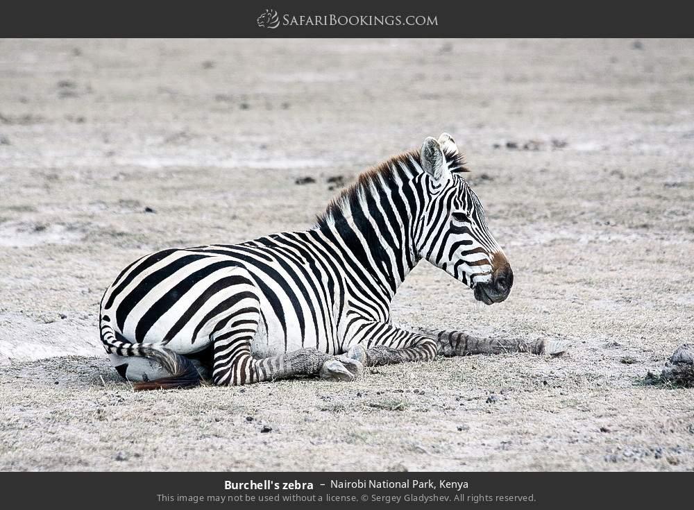 Burchell's zebra in Nairobi National Park, Kenya