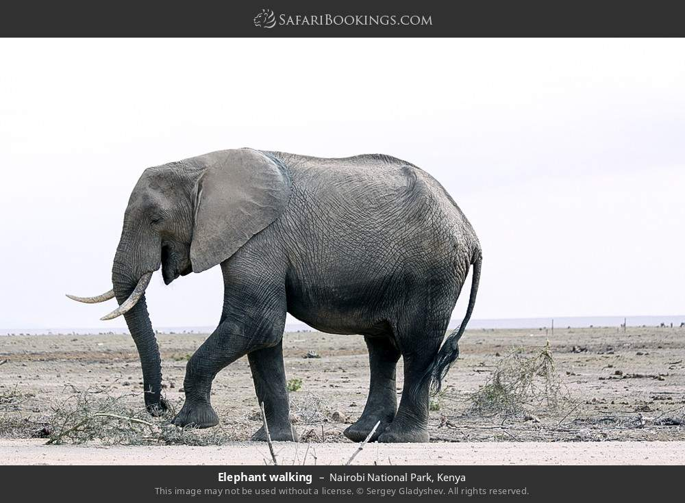 Elephant walking in Nairobi National Park, Kenya
